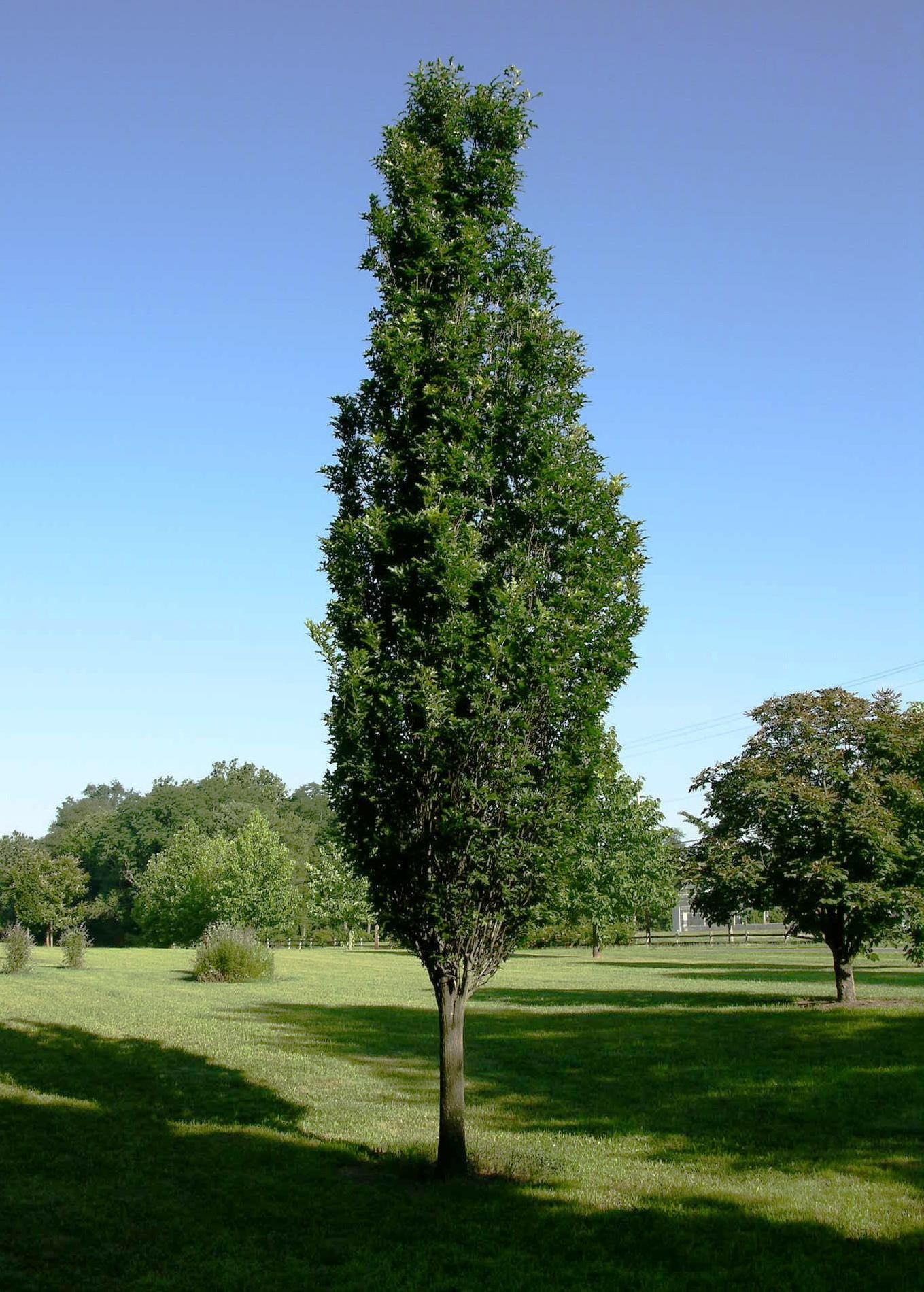 Regal Prince Oak - Oak Trees - Fall Color